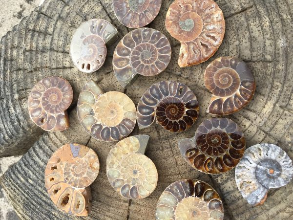 Fossil Ammonite – Earth Healing, Continuous Change, Evolution, Life Pathway